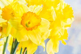 picture of daffodils  - Bouquet of yellow spring daffodils backlit closeup - JPG