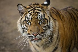 picture of predator  - Predator, Tiger portrait of a Sumatran Tiger