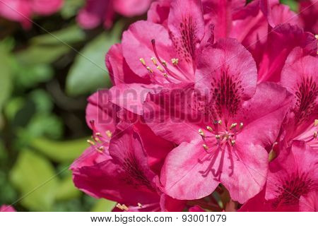 Red Rhododendron Flower Closeup