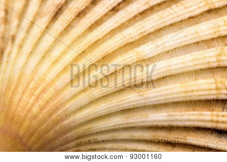 Scallop Seashell Conch Closeup