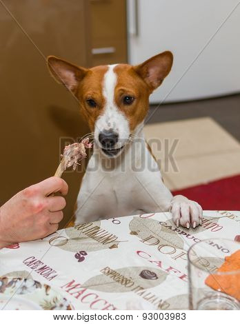 Indecisive basenji dog at dinner table