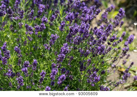 Close up of  the flourishing lavender in garden