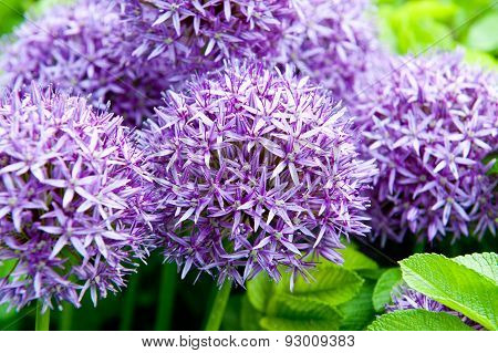Giant Onion (allium Giganteum) Blooming In A Garden