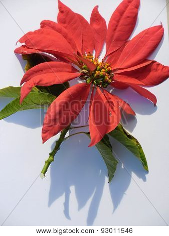 Poinsettia Flower On White Background In Sunlight