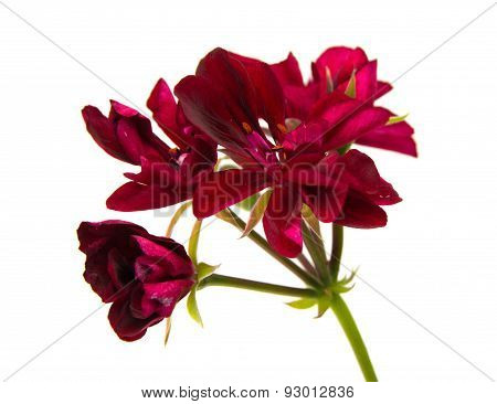 Dear Red Pelargonium