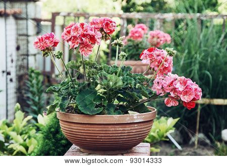 Potted Pink Pelargonium Flowers In The Garden