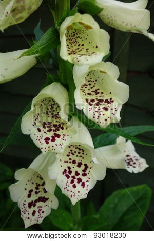 Foxglove Close-up