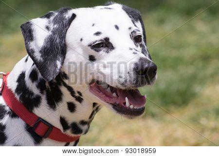 Dalmatian dog portrait.