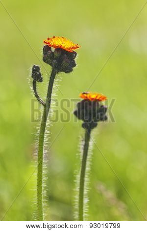 Orange hawkweed or fox-and-cubs flower in backlighting