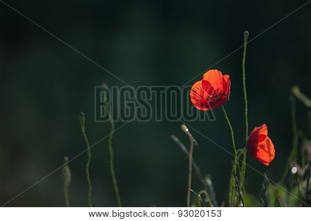 Red Poppy Flower With Dark Green Background