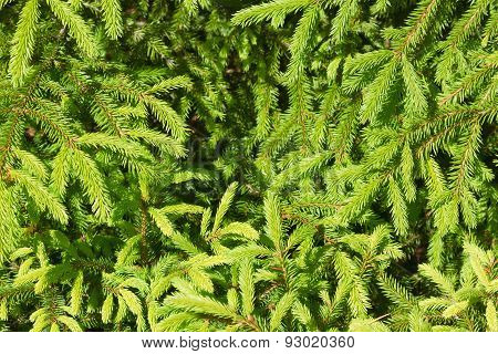 Texture Of Pine Needles