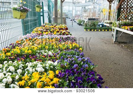 Pansies in a garden store.