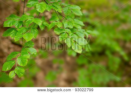 Green Tree Leaves Isolated.