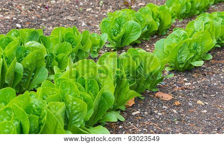 Lettuces In Rows In A Vegetable Garden