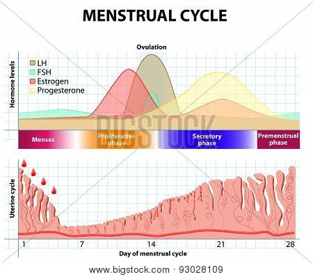 Menstrual Cycle. Endometrium And Hormone