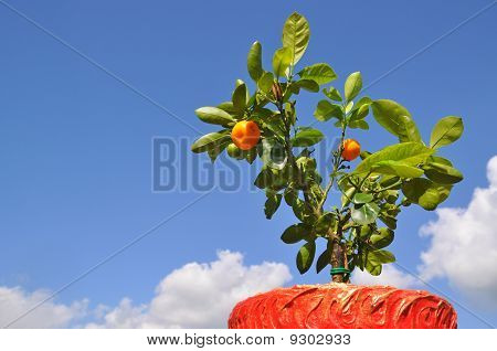 Dwarfish tree a tangerine