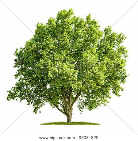 An Isolated Plane Tree On A White Background