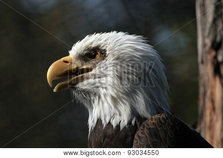 Bald eagle (Haliaeetus leucocephalus), known as the national bird of the United States of America.