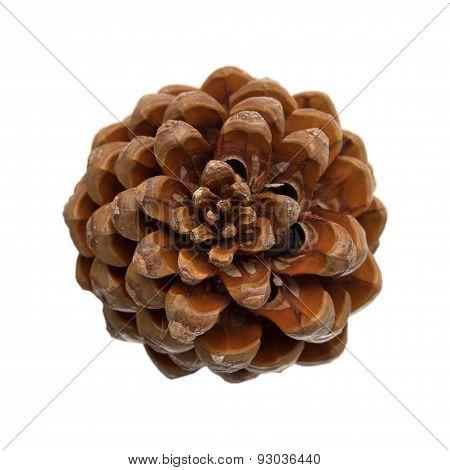 Cone Of Stone Pine, Pinus Pinea