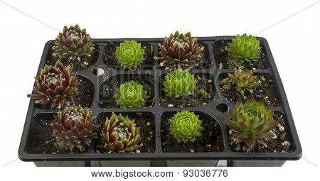Tray with small succulent plants, Hens and Chicks