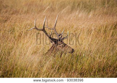 Bull Elk Bedded