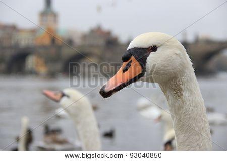 Portrait Of A Swan In Prague