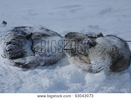 Sleds sled dogs in Chukotka.