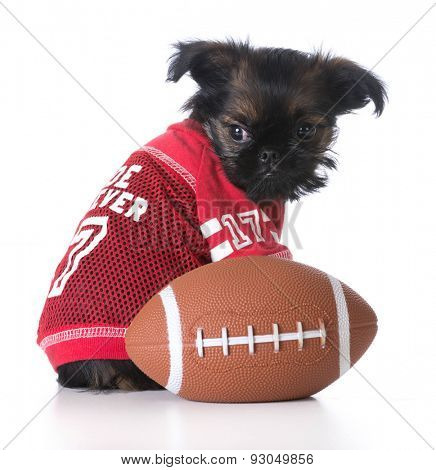 sports hound - brussels griffon wearing sports jersey sitting beside football