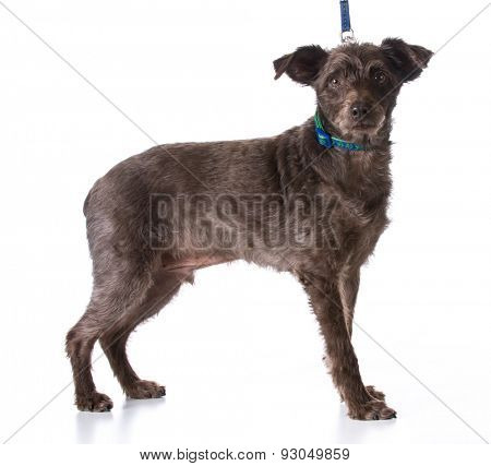 dog on a leash - mixed breed dog wearing leash and collar