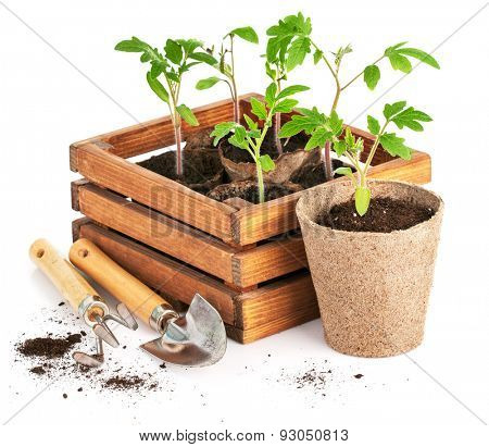 Seedlings tomatoes in wooden box with garden tools. Isolated on white background