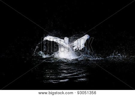 Pelican in water