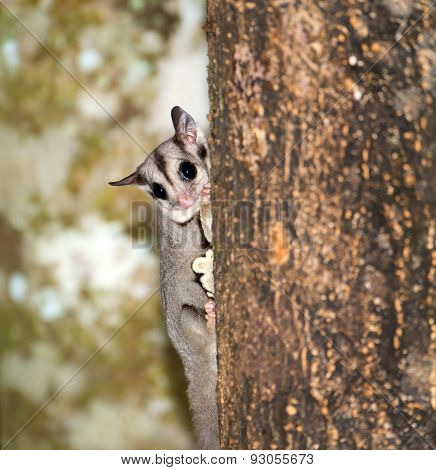 Sugar Glider on a tree Trunk, Qld, Australia