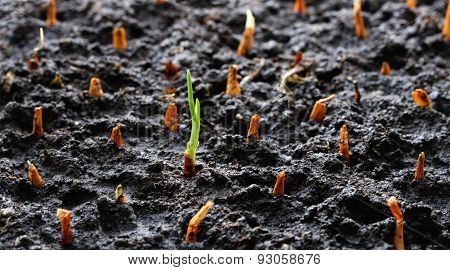 sprout out of the ground