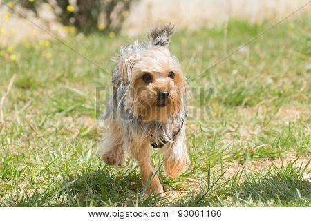 Yorkshire terrier running.