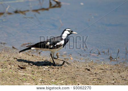 Magpie Lark, Queensland, Australia