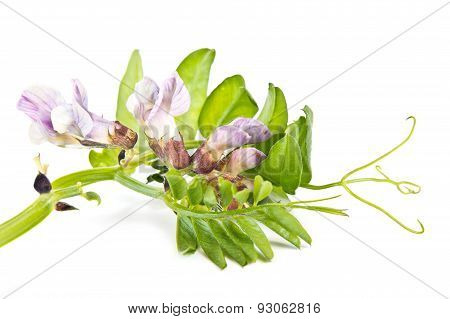 Vetch Or Mouse Pea