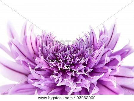 Allium Fistulosum, Or Welsh Onion, Or Japanese Bunching Onion, Or Bunching Onion, Or Hollow Bow