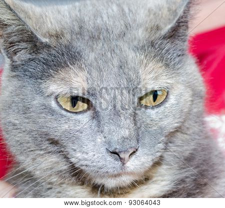 Short Haired Calico Cat