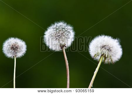 Dandelions On Blurred Background