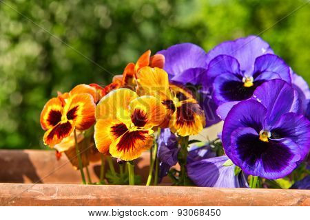 Colorful display of vivid orange and purple pansies growing in a terracotta pot outdoors with green leafy trees in the background