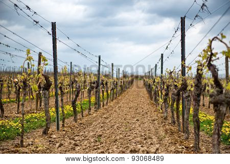 Neatly trellised spring vines in a vineyard in Dirmstein, Germany, just starting to sprout their fresh green spring leaves , view between two rows of vines