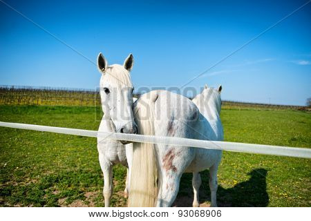 Two grey horses in a sunny paddock standing head to tail close to the rail in the hot spring sunshine with one looking at the camera