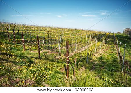 Rows of trellised vines in springtime in a rural landscape on a winery in Bissersheim, Germany conceptual of the wine industry, wine making and agriculture