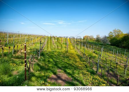 Rows of cultivated trellised vines in a vineyard on a winery on the wine route in Bissersheim, Germany, landscape view
