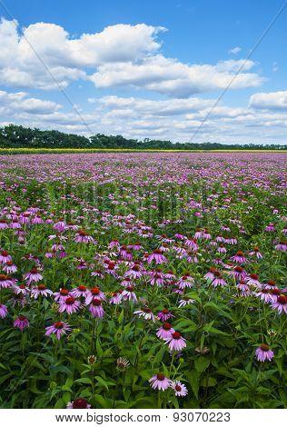 Flowering Coneflower Field