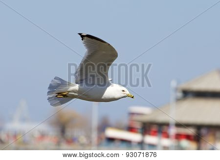 The Confident Gull Is Flying