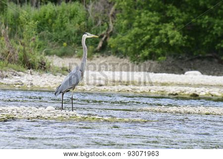 Greart Blue Heron On The River