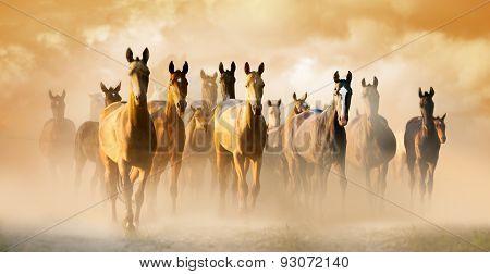 Herd Of Akhal-teke Horses In Dust Running To Pasture