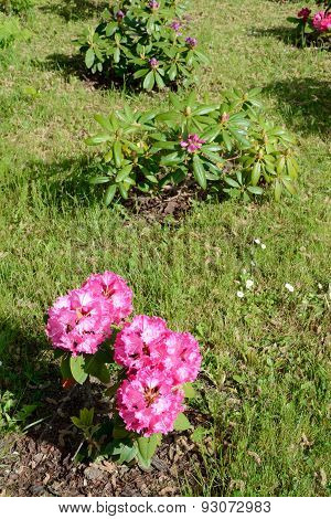 Rhododendron Flowers And Bushes