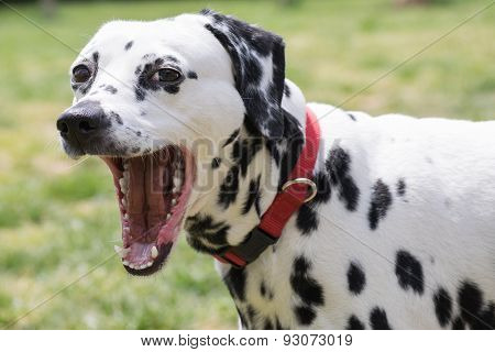 Funny Dalmatian dog posing with mouth wide open.